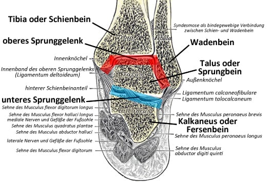Unteres Sprunggelenk (Articulatio talotarsalis) || Med-koM